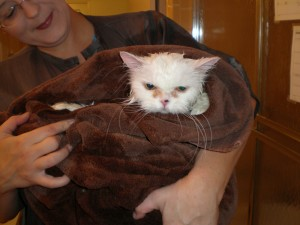 Charley the Persian after the bath