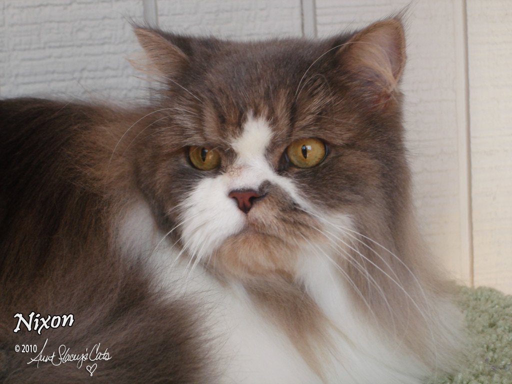 Nixon, a Persian cat groomed by Aunt Stacey